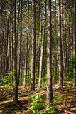Pine forest Royalty Free Stock Images