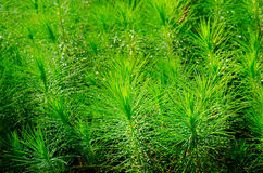 Pine forestry seedlings Stock Photography