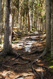 Pine forests Royalty Free Stock Photography