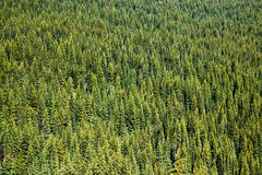 Pine forests in  BC Canada Royalty Free Stock Photos