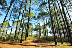 Pine forests. In the middle of thailand Royalty Free Stock Photo