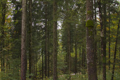 Pine forests. In mountains alps Royalty Free Stock Images