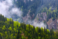 Pine forests on mountains Stock Images