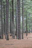 Pine forests in portrait layout. Pine forest shot in portrait layout with focus on pine trunks Stock Photography