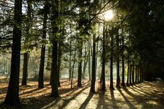 Pine forests in the tropics are rich is creating the world`s oxygen in a landscape green background stock photo