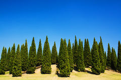 Pine forrest. Stock Image