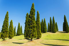 Pine forrest. Royalty Free Stock Images