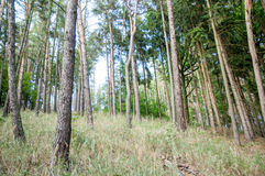 Pine forrest Stock Photo