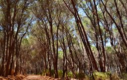 Pine Forrest Royalty Free Stock Image