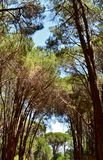 Pine Forrest Royalty Free Stock Photos