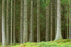 Pine forrest. Old swedish pine forrest at summer time stock photos