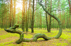 The pine of the freakish form Royalty Free Stock Photo