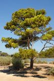 Pine on the french riviera. Large maritime pine on a sandy ground Stock Photography