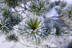 Pine in the frost. Lush pine branch with long needles in the frost Royalty Free Stock Photo