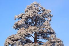 Pine in the frost Stock Photos