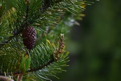 Pine fruit, pineapple, in the foreground royalty free stock photos