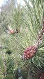 The pine fruit. Plants like this are growing in the centre of Europe royalty free stock photo