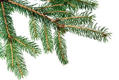 Pine fur tree branch Stock Images