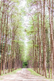 Pine Garden at Chiang Mai Thailand Royalty Free Stock Photos