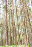Pine Garden at Chiang Mai Thailand Royalty Free Stock Image