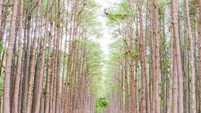 Pine Garden at Chiang Mai Thailand Royalty Free Stock Photography