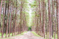 Pine Garden at Chiang Mai Thailand Stock Photos