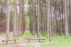 Pine Garden at Chiang Mai Thailand Stock Photo
