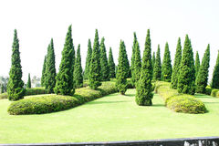 Pine garden. Green pines in the garden Royalty Free Stock Photography