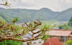 Pine. Get Big green-pine-tree photo in hi-res free of charge Stock Photos