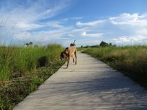 Pine Glades Natural Area in Florida Swamps. Dog walking on a path in the wilderness of a marsh Stock Photo