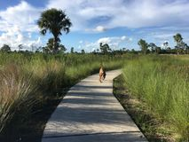 Pine Glades Natural Area in Florida Swamps. Dog walking on a path in the wilderness of a marsh Stock Photos