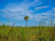 Pine Glades Natural Area in Florida Swamps. Palm tree in a field of green grass on a summer day Royalty Free Stock Image