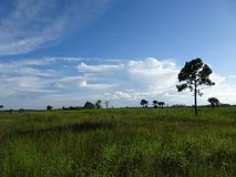 Pine Glades Natural Area in Florida Swamps. Summer day in the Everglades shows grass, one tree, and blue skies Royalty Free Stock Photography