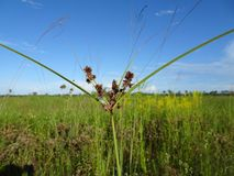 Pine Glades Natural Area in Florida Swamps. Wildflowers and weeds in the Florida Swamps Stock Photos