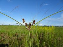 Pine Glades Natural Area in Florida Swamps. Wildflowers and weeds in the Florida Swamps Royalty Free Stock Photo