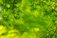 Pine Green Stock Photography