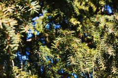 Pine green background Royalty Free Stock Photos