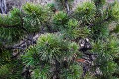 The pine green boughs Royalty Free Stock Photography