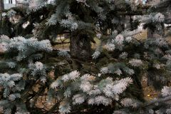 The pine green boughs Stock Photography