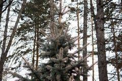 The pine green boughs Stock Photos