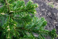 The pine green boughs Royalty Free Stock Photo