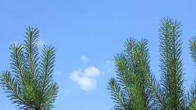 Pine. Green pine branches on sky background stock video footage