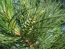 Pine green cones. Pine twig with green female cones Stock Images