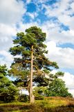Pine, green fir tree on sunny day on natural landscape Stock Photography