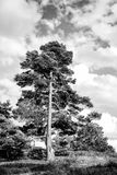 Pine, green fir tree on sunny day on natural landscape Royalty Free Stock Photo