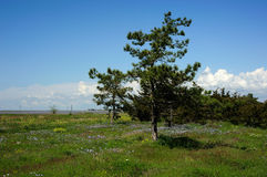 Pine on a green glade Stock Photos