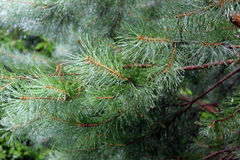 Pine green needles on a close-up branch. Pine ordinary, known in Russia as a pine forest - an evergreen conifer with a straight trunk, a long twin pine needles Stock Photography