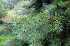 Pine green needles on a close-up branch. Pine ordinary, known in Russia as a pine forest - an evergreen conifer with a straight trunk, a long twin pine needles Stock Image