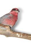 Pine-grosbeak. The male of pine-grosbeak on a perch Royalty Free Stock Photos