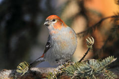 Pine Grosbeak Royalty Free Stock Image